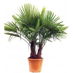 Palmier de chine 2 troncs