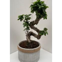 Ficus ginseng bonsaï +...