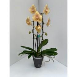 Phalaenopsis 2 tiges cascade.