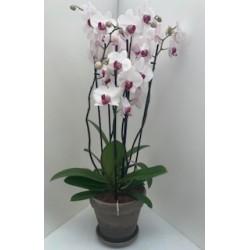 Composition orchidée