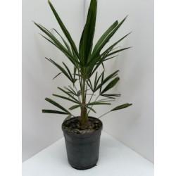 Trachycarpus fortuneii...